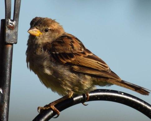 English House Sparrow
