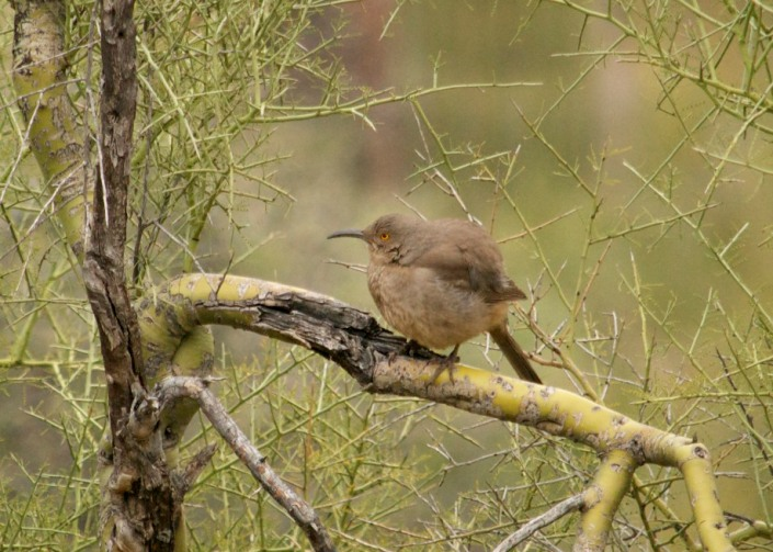 curve-billed-thrasher-tonto-2