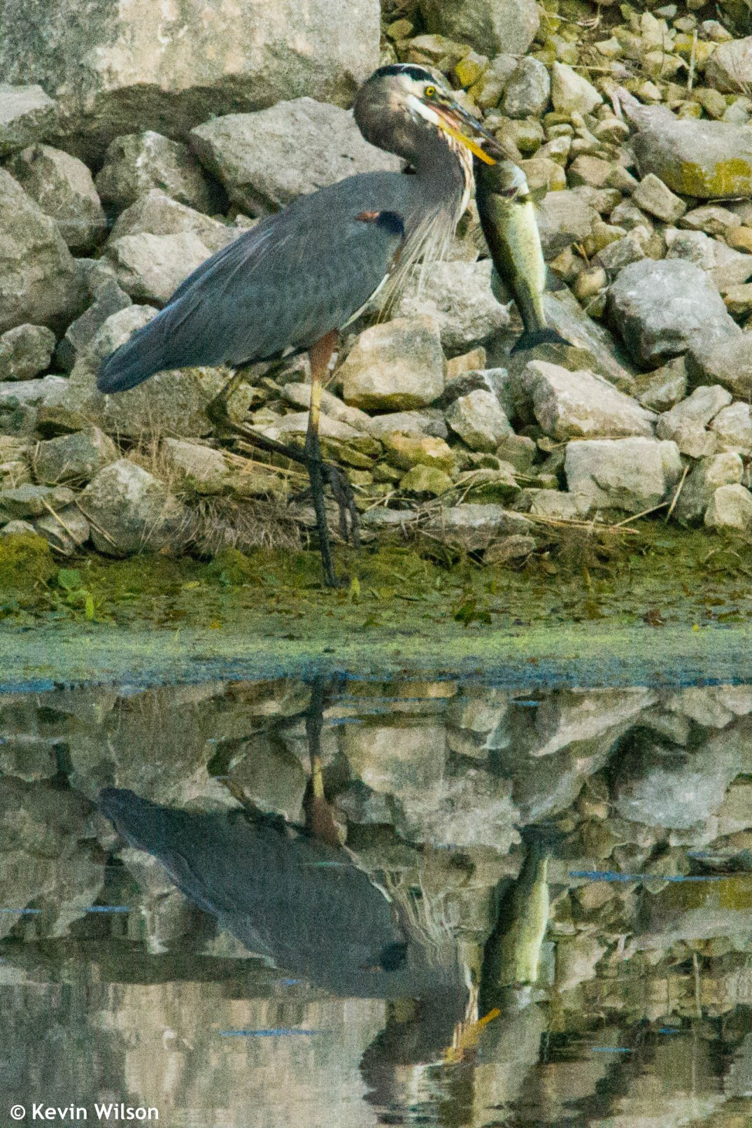 heron-and-bass-4