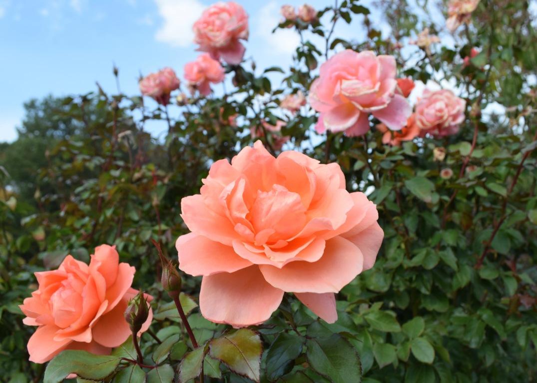 innis-rose-1