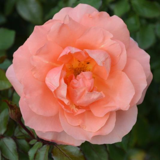 innis-rose-2