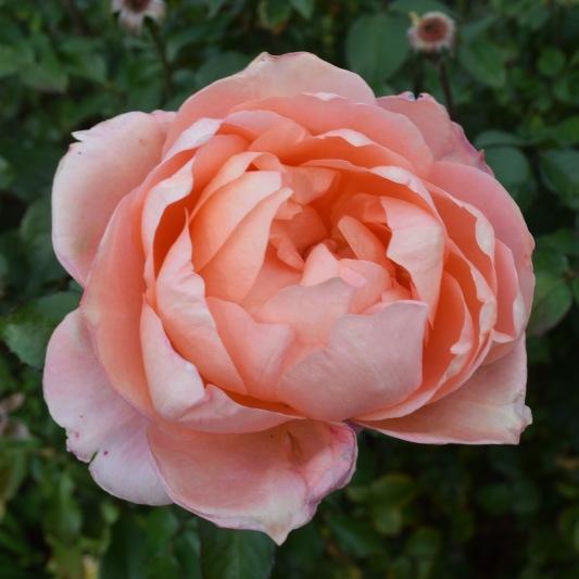 innis-rose-3