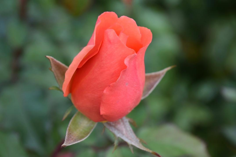 innis-rose-5