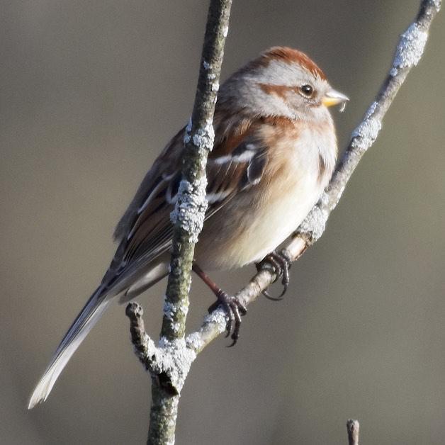 alert-american-tree-sparrow-1