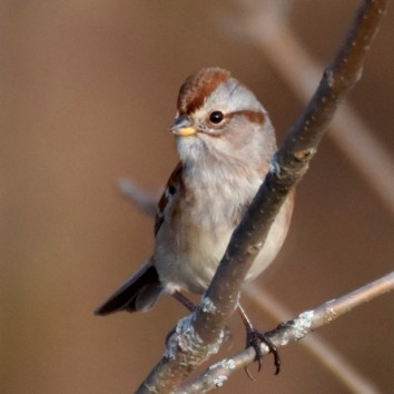 alert-american-tree-sparrow-2