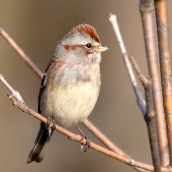 alert-american-tree-sparrow-3