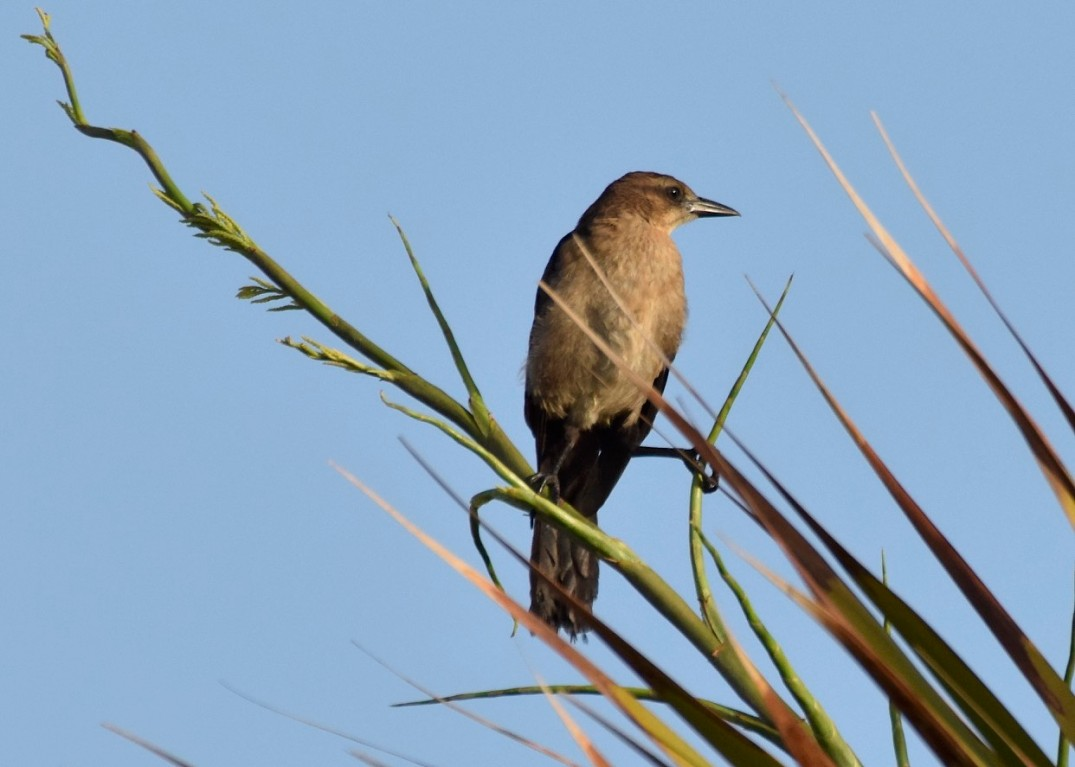 boat-tailed-grackle-gamma