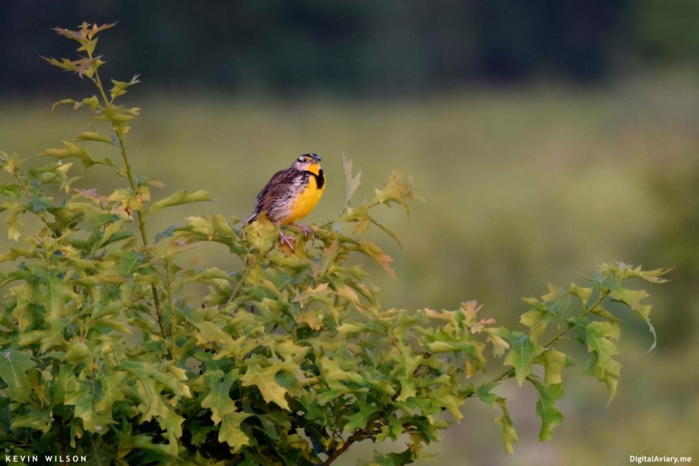 eastern-meadowlark