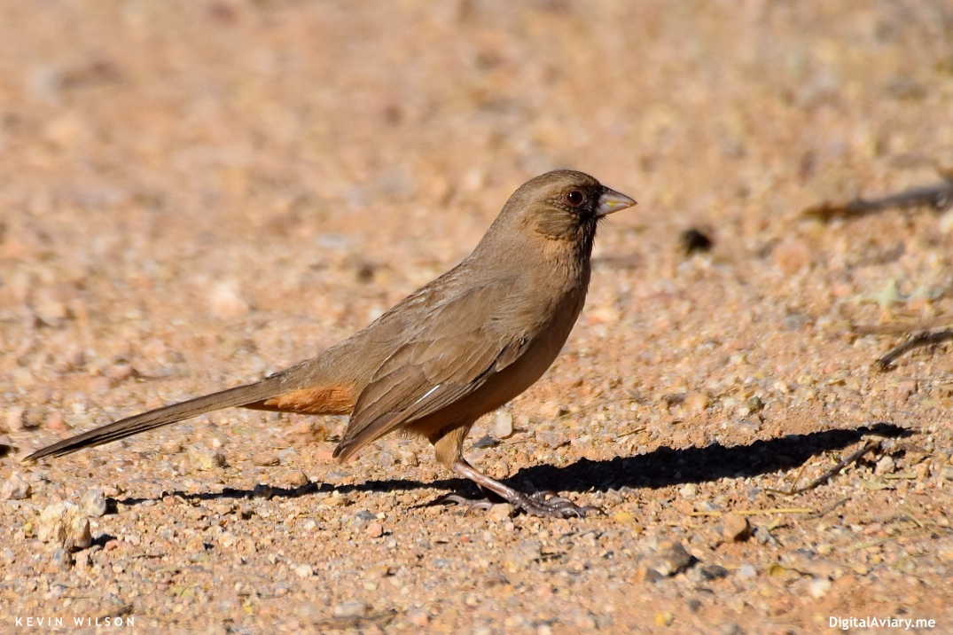 canyon-towhee-beta