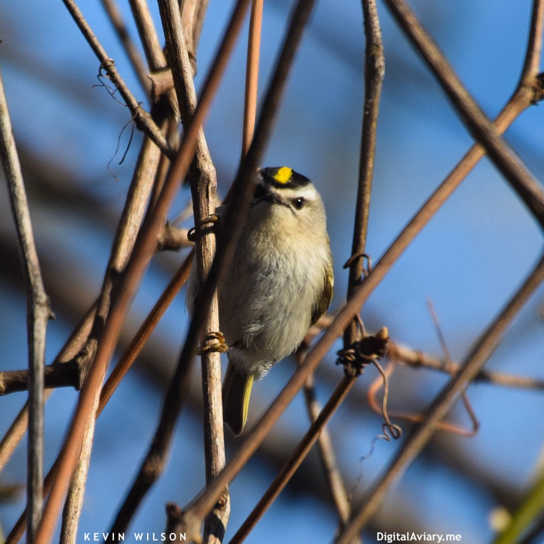 golden-crowned-kinglet-1