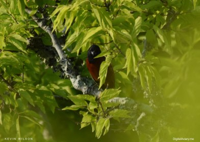 Folly Oriole 3