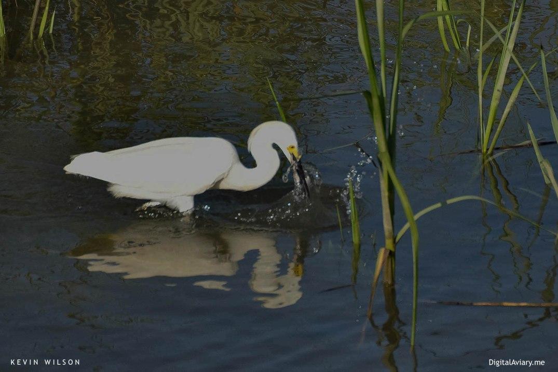 White Egret 3