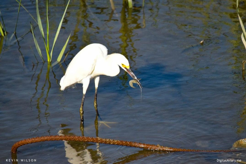 White Egret 5