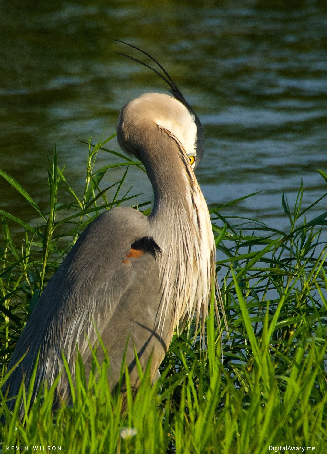 Blue Heron Tennesee 1 processed