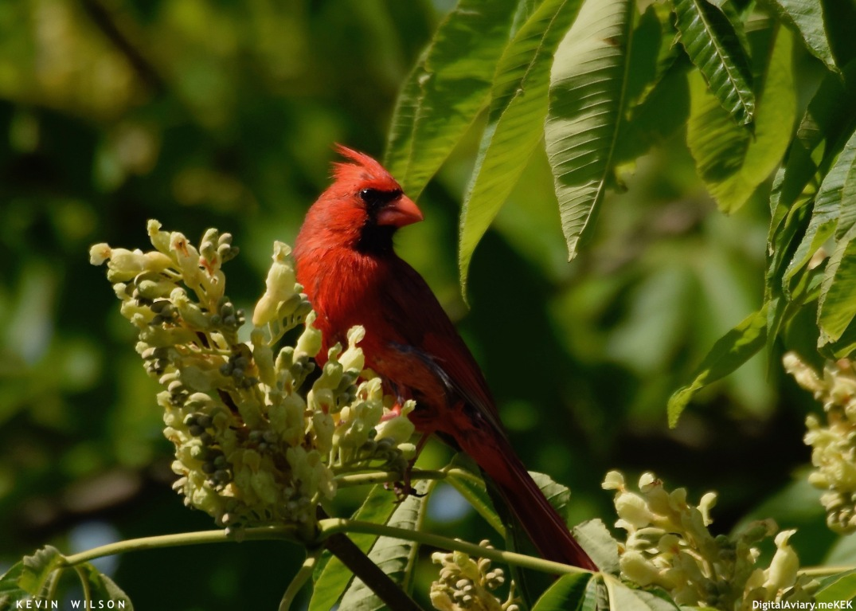 Buckeye Cardinal