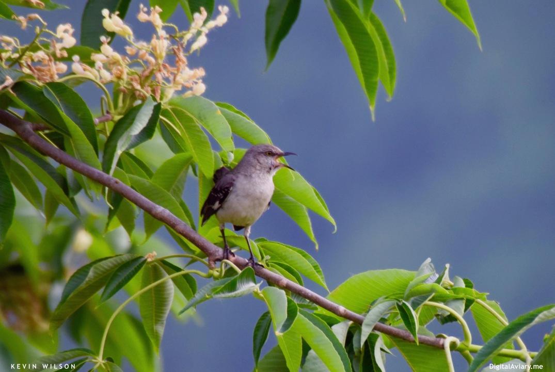Buckeye Mockingbird