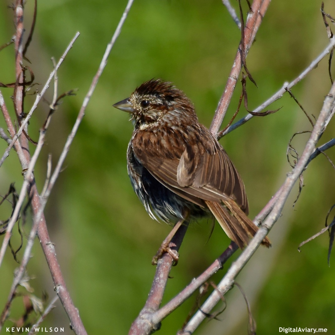 Song Sparrow Young