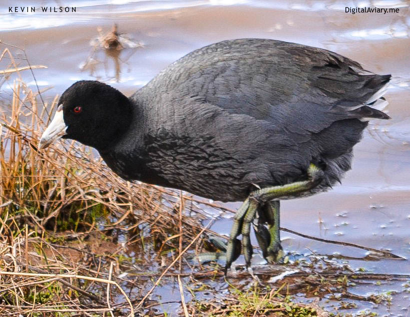 American Coot Developed