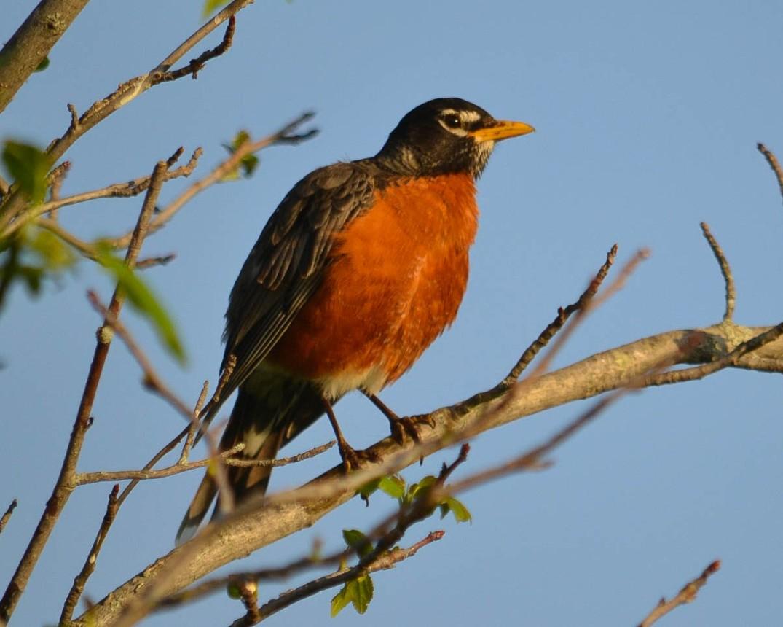 American Robin Spring 1