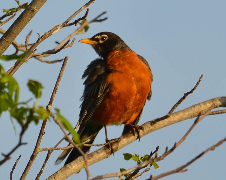 American Robin Spring 2