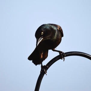 Iron Grackle 1