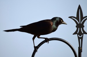 Iron Grackle 2