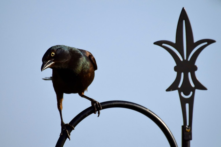 Iron Grackle