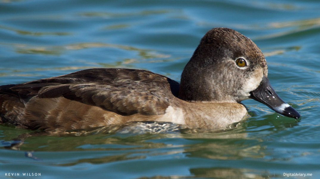 Ring-necked Duck female dev
