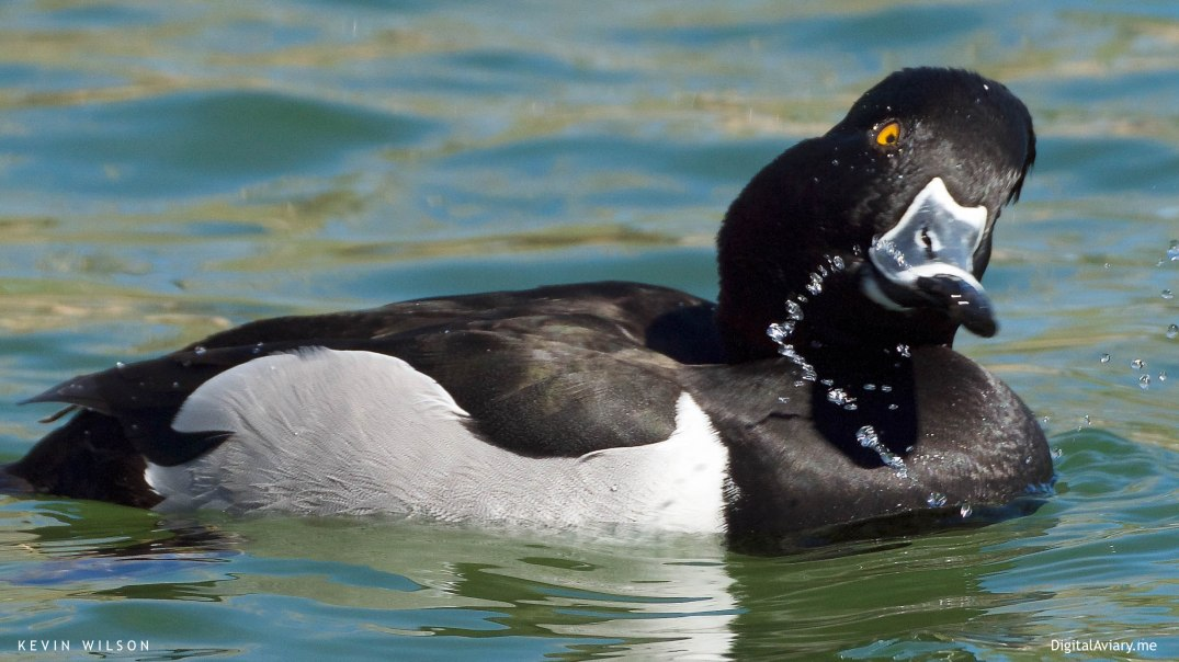 Ring-necked Duck Single dev