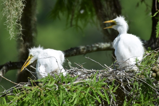 Great Whilte Egret Chicks 2