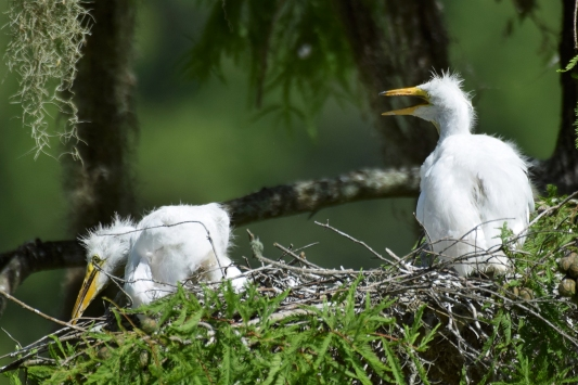 Great White Egret Chicks