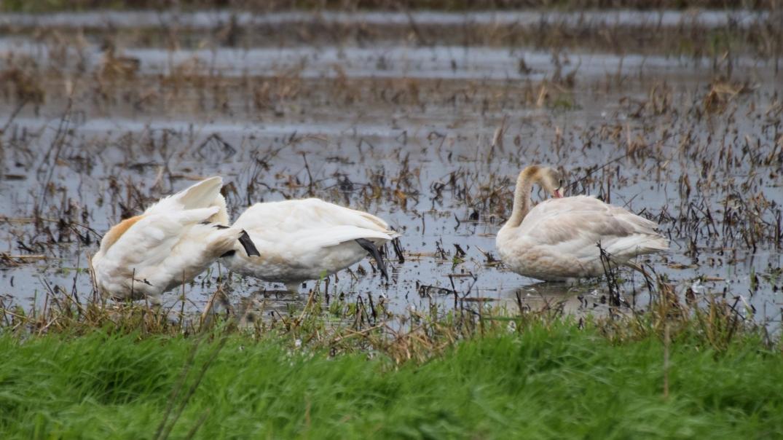 Trumpeter Swan 2