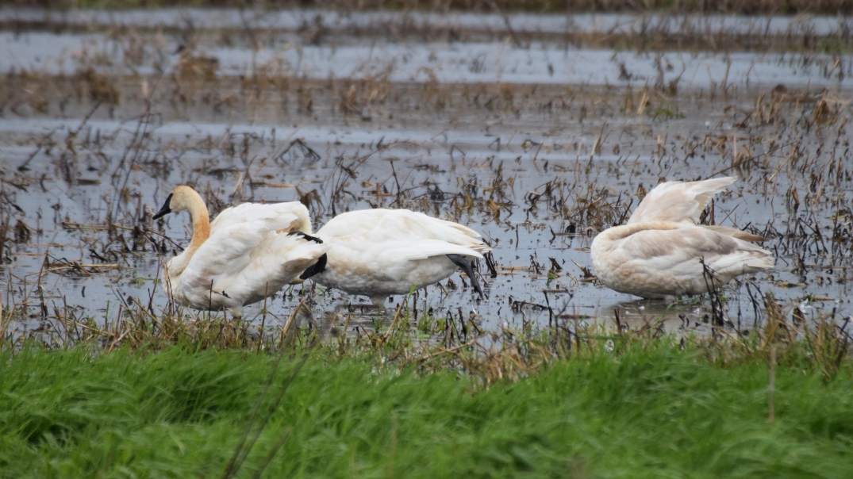 Trumpter Swan 3