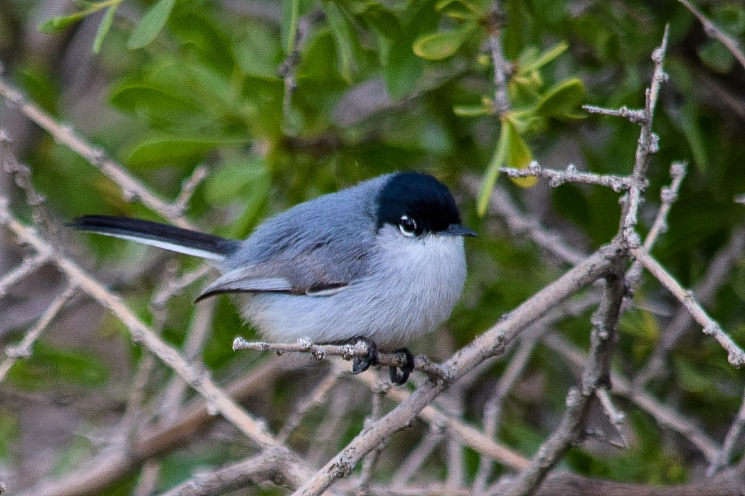 Black-tailed Gnatcatcher.jpg