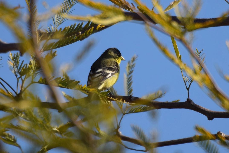 Lesser Goldfinch 1