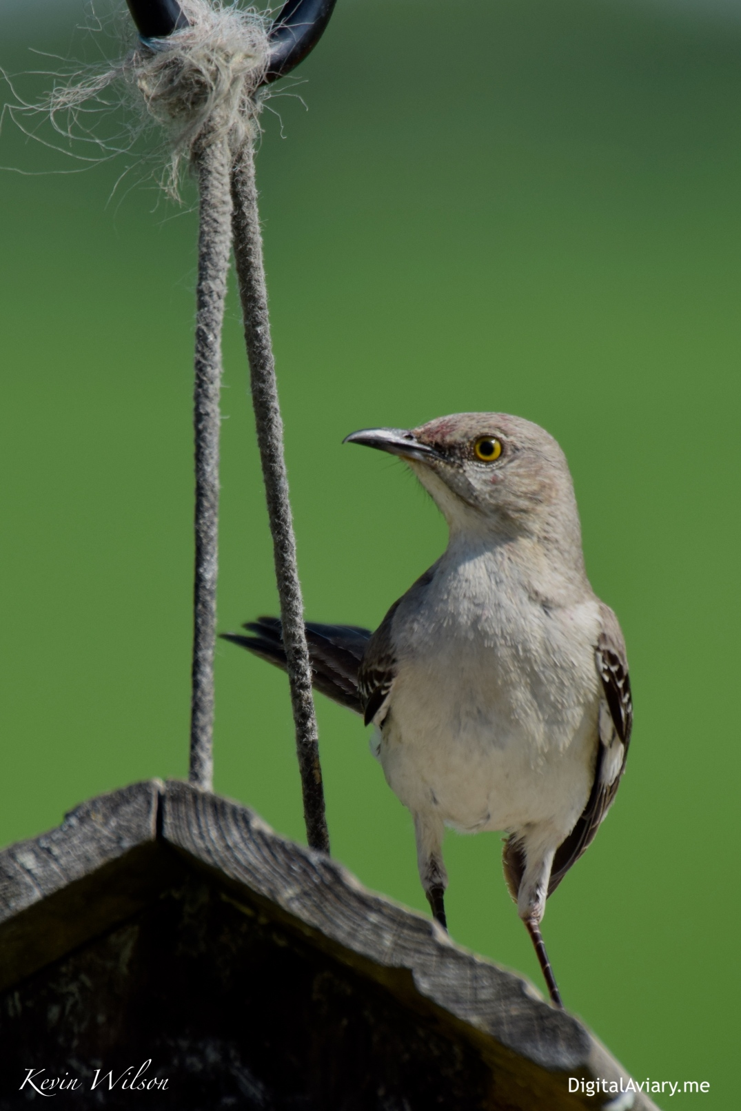 Northern Mockingbird Old Feeder