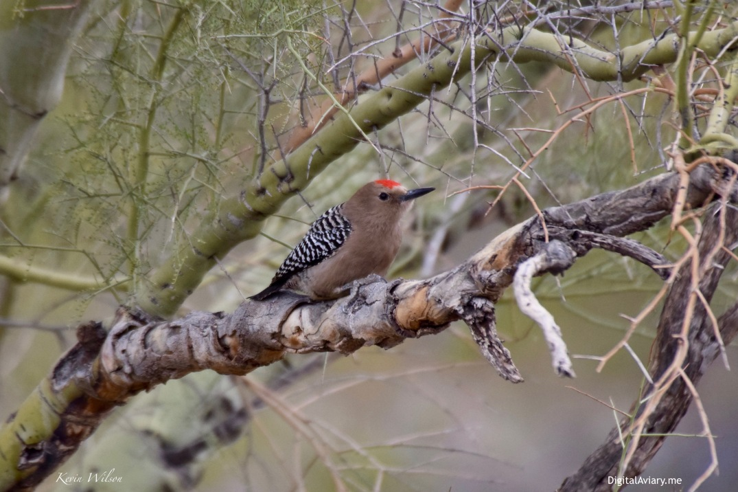 Gila Woodpecker Close