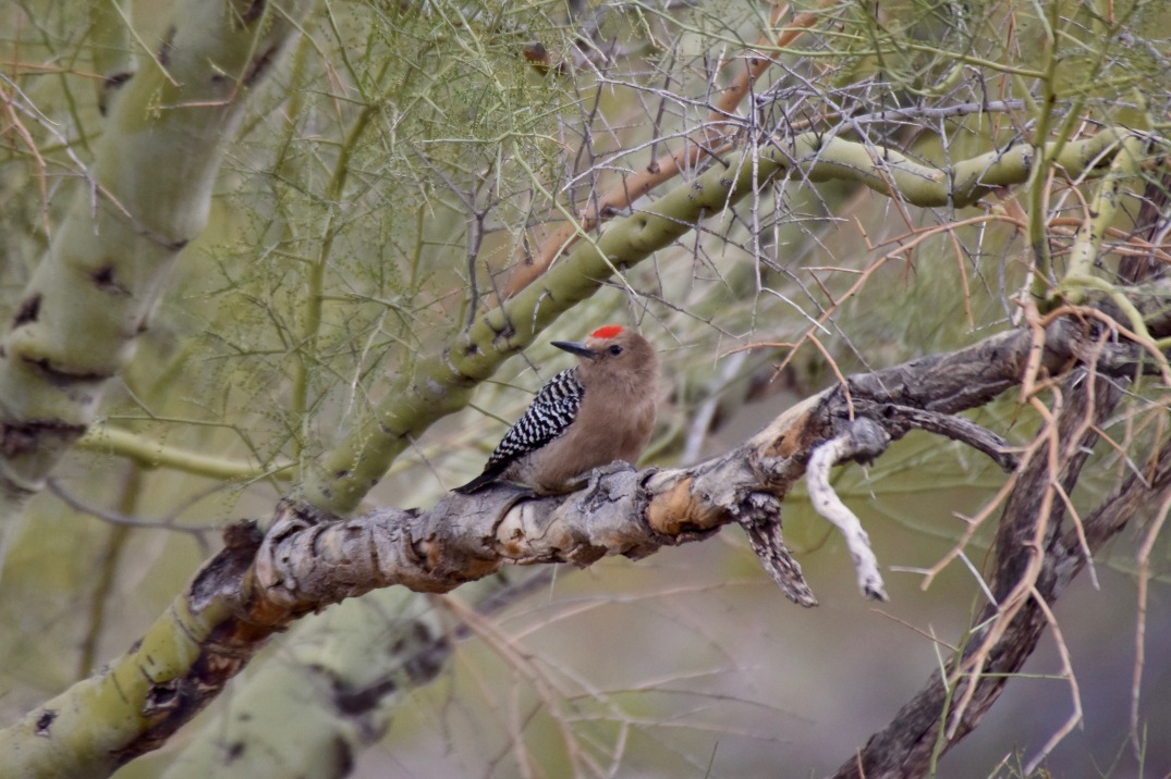 Gila Woodpecker Medium