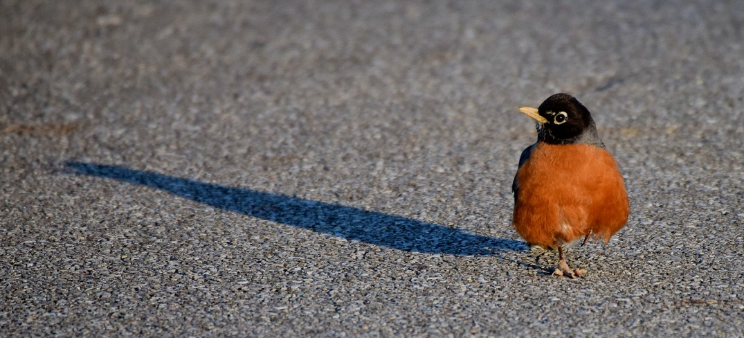 Robin with Shadow