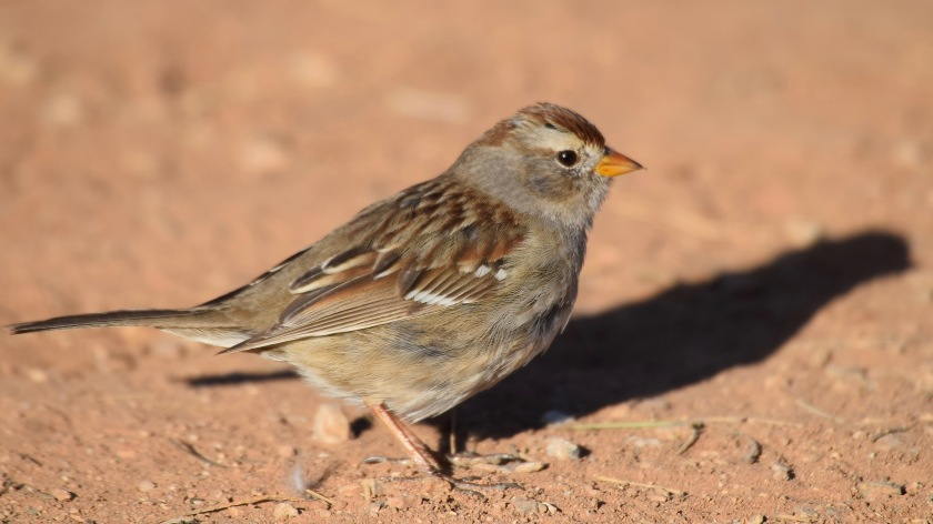 White-crowned Sparrow female 1