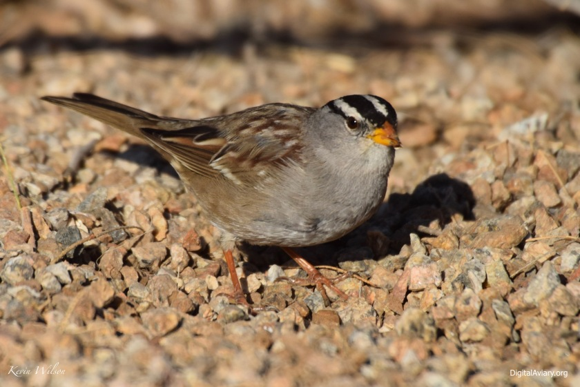 White-crowned Sparrow male 1