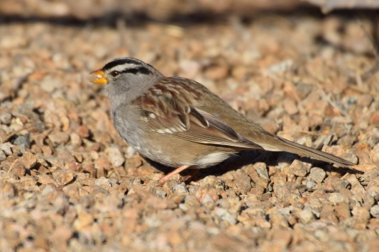 White-crowned Sparrow male 2