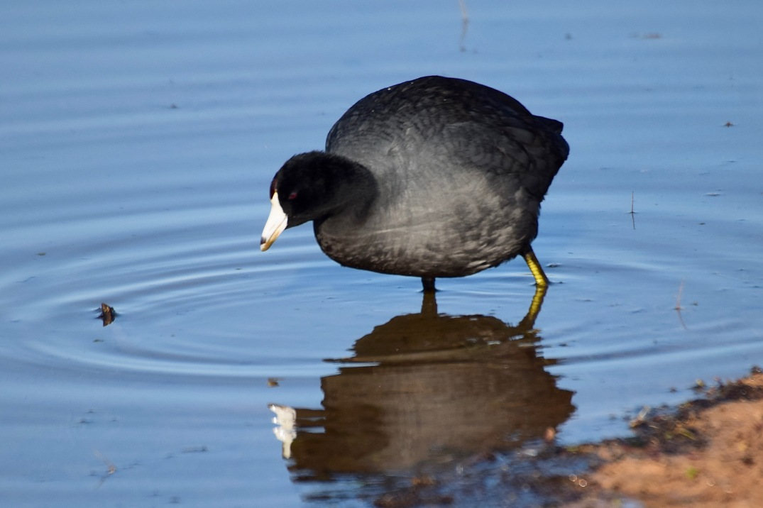 American Coot RP 3