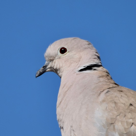 Eurasian Collard Dove 2