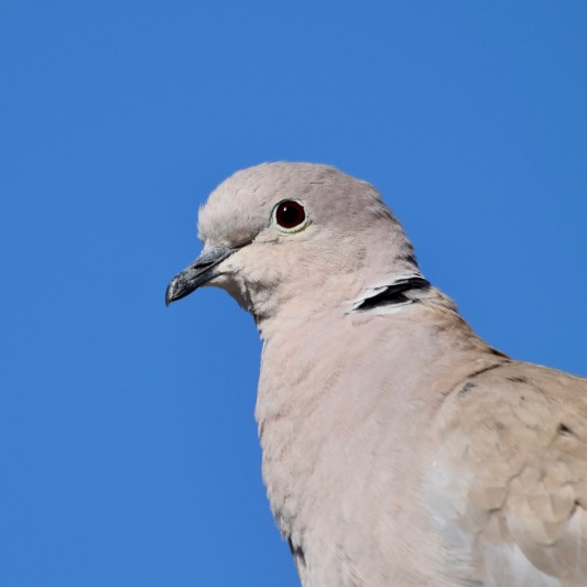 Eurasian Collard Dove 3