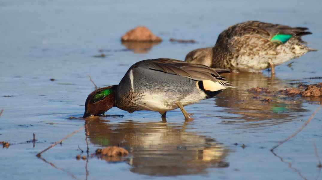 Green-winged Teal RP 1