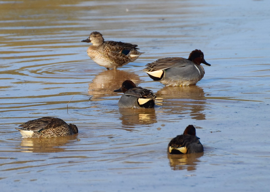 Green-winged Teal RP 2
