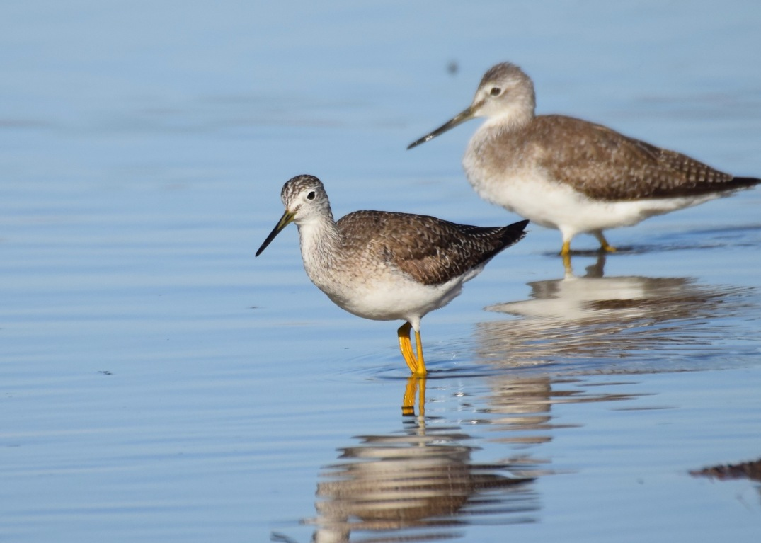 Lessder and Great Yellowlegs 2