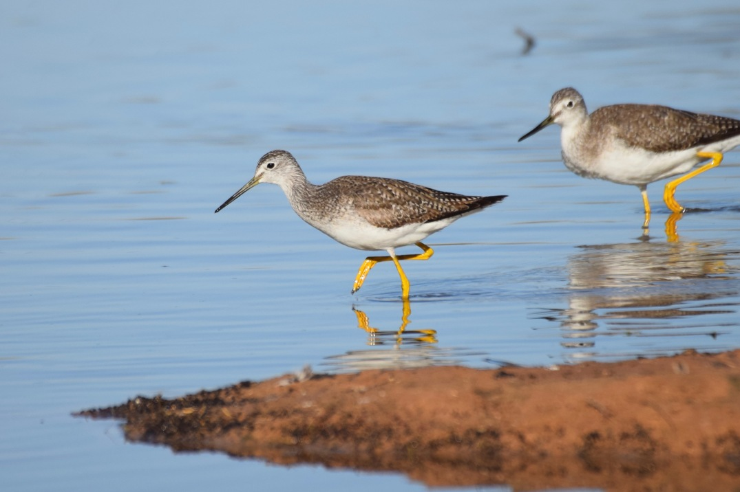 Lesser and Greater Yellowlegs 1