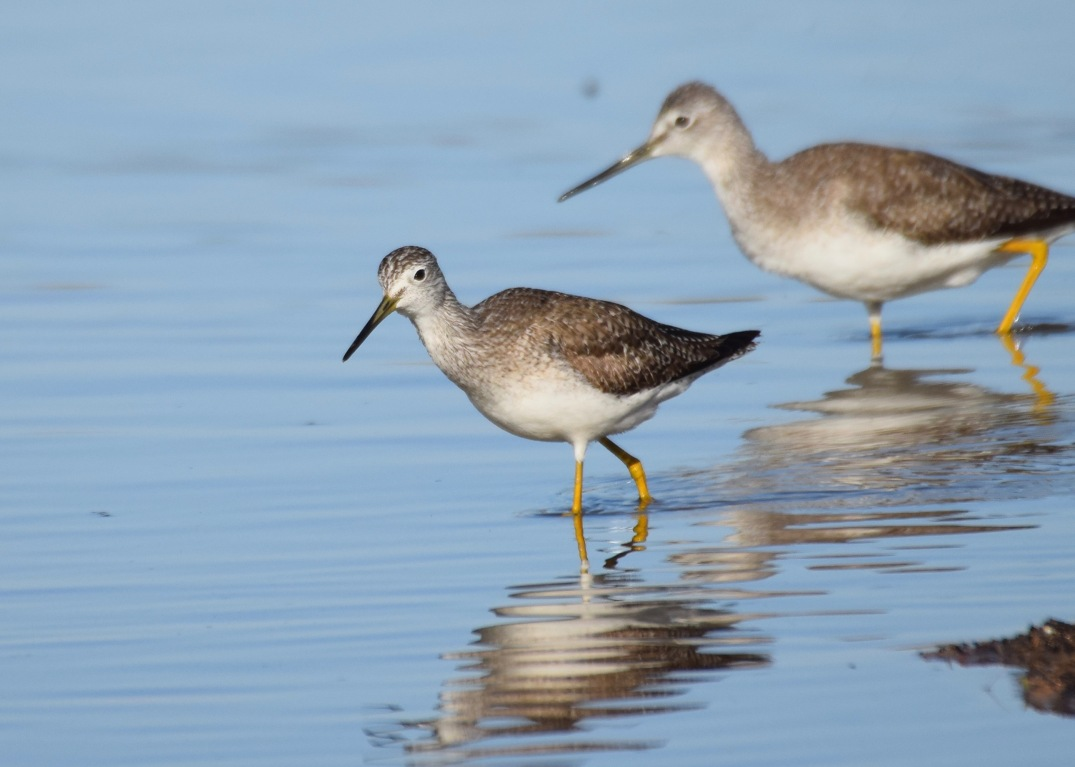 Lesser and Greater Yellowlegs 3
